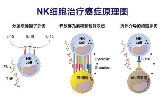NK细胞免疫治疗法用于哪些方面的治疗未来如何发展